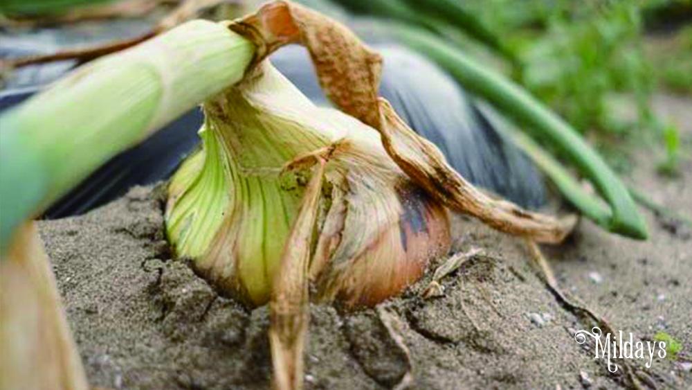千葉県白子町の新玉ねぎ(白子玉ねぎ)をお取り寄せ!おすすめの食べ方や保存方法